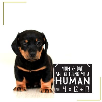 dog with pregnancy announcement sign